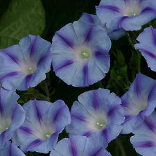 Kings Seeds - Ipomoea Purpurea Dacapo Light Blue - 40 Seeds