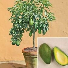 Avocado Seeds Mill Pear Green Delicious Fruit Tree Seed Easy to Grow-10 Pcs