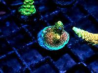WYSIWYG Live Coral Frag - ASD Rainbow Millepora