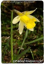 Narcissus pseudonarcissus 'Wild Daffodil' [Ex. North Yorkshire] 50+ SEEDS