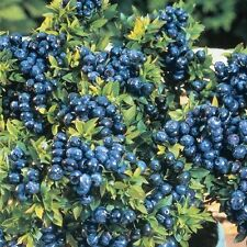 BLUECROP BLUEBERRY PLANTS 1 YEAR ROOTED PLANTS -buy 5 get 2 free -