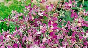 Wild Garden Seeds. Night Scented Stock Pink. INC FREE SEED OFFER - see desc