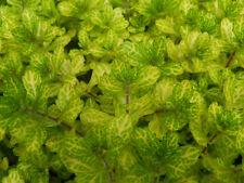 1 touffe de shinnersia rivularis variegata