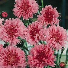 Cornflower (Centaurea Cyanus Dwarf Tom Pouce Red) 50 Seeds  Garden Seeds 2u