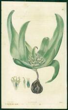 1823 Antique Botanical Print - ANDROCYMBIUM EUCOMOIDES Tulip-leaved (SB165)