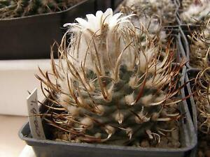 Turbinicarpus gracilis 100 seeds