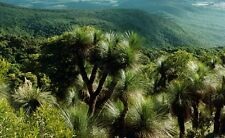 Blue Grass Tree! RARE hardy! Fresh seeds! Exanthaorrhoea