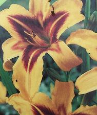 Hemerocallis 'Bonanza' Day Lily Hardy Perennial in 9cm pot