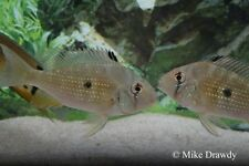 "(2) 3"" Acarichthys heckelii - South American Cichlid Threadfin Acara Live Fish"