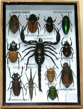 12 Real Insect Rare Insects Display Taxidermy in Wood Box Collectible Gift