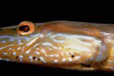 787002 Trumpet Fish Bonaire Netherlands Antilles A4 Photo Print