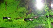 New listing 6 fry/jivi Dwarf Dark Blue Panda 3-6 weeks old