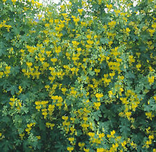 Nasturtium Canary Bird Vine 100 seeds Need More? Ask