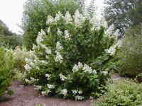 Tardiva Hydrangea - Flowering Shrub Healthy Established - 1 Plant in 1 Gallon