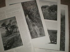 Photo article the study of wild flowers 1905 ref U