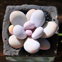 Succulent Live Plants - Pachyphytum Oviferum 5cm - Home Garden Beautiful Plants