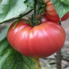 """German Queen Tomato *Heirloom* (50 Seed's) """"FREE SHIPPING"""" <NON GMO>"""