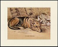 GERMAN SHEPHERD DOG AT REST LOVELY LITTLE DOG PRINT MOUNTED READY TO FRAME