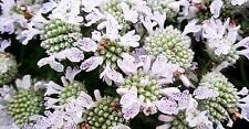 Pycnanthemum pilosum (Mountain Mint) x 200+seeds. Edible. Great with meat