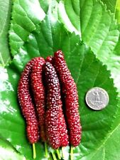 Long Mulberry Tree Pakistan Black Mulberry Morus nigra Live Starter Plant Fruit