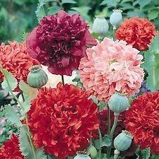 Poppy Giant Double Peony Mix 50 Seeds