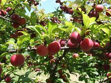 Delicious PLUM Tree/5-Finest Seeds/Crisp, Sweet & Tangy/Hardy Variety For UK