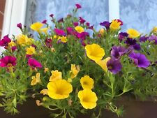PETUNIA Kabloom Calibrachoa Series MIX SEEDS  21 QUALITY fresh Seeds