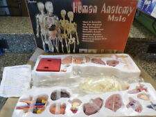 vintage human male anatomy 24 inch visible model