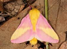 ONE REAL BUTTERFLY PINK YELLOW ROSY MAPLE MOTH PAPERED UNMOUNTED WINGS CLOSED