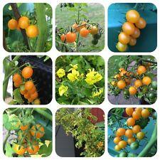Galapagos-Tomate Wildtomate hunderte Minifrüchte Lycopersicon cheesmanii