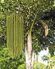 20  Caryota urens Seeds, Fishtail Palm , Jaggery Palm, Toddy Palm, Wine Palm
