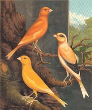 NORWICH CANARIES.Clear Yellow(Cayenne-Fed);Evenly-Marked Buff;.Blakston 1880