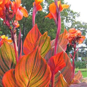 Canna Tropicanna-Canna Lily Plant in  3.5 '' Pot