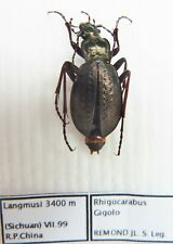 Carabus rhigocarabus gigolo (female A1) from CHINA (Carabidae)