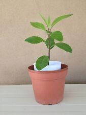 5 Gynura Procumbens, Longevity Spinach Cuttings 7 Inch (aka Ashitaba)
