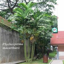 ~MacArthur Palm Tree~ Ptychosperma macarthurii Palm Potted Plant Small Starter
