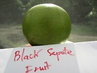 """~12"""" Black Sapote Diospyros digyna Chocolate Pudding Tropical Fruit Tree Plant"""