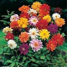 50 Dahlia Seeds Unwin Bedding Mix Flower Seeds