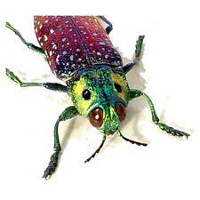 Real Framed Lampropelpa Rothschildi Jewel Beetle 2250