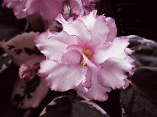 African Violet Leaves ~ Elizabeth ~ Pink & Variegated