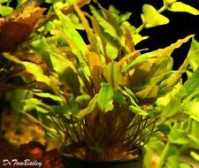 Cryptocoryne Mioya Bunch Freshwater Live Aquarium Plant