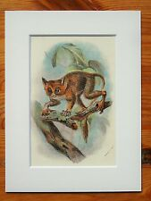Tarsier - Mounted Antique Animal Monkey Primate Print Victorian Lithograph