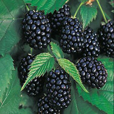 100pcs Giant Nutritious Blackberry Seeds Antioxidant Fiber Thornless Healthful