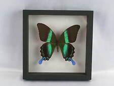 3D Box Blumei papillon - taxidermie, réel - une beauté unique Naturalise