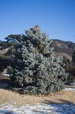 Picea meyeri MEYER SPRUCE Seeds!