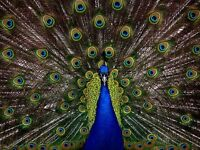 """perfect 36x24 oil painting handpainted on canvas""""a peacock in his pride"""" @NO1264"""