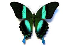 Papilio blumei male * sulawesi *
