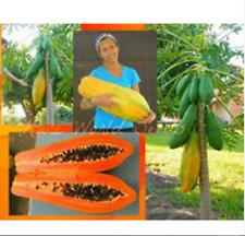100 PCS Seeds Sweet Maradol Papaya Edible Tropical Juicy Jardin Fruits 2019 New