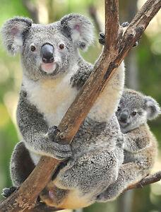 KOALA BEAR POSTER 1 - BUY2 GET 1 FREE - UK SELLER - A3 SIZE 297X420MM WILDLIFE