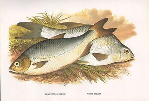 VINTAGE FACSIMILE FISH PRINT ~ POMERANIAN & WHITE BREAM ~ A. F. LYDON